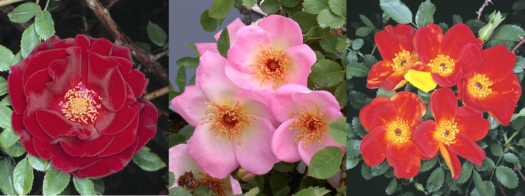 Giardinaggio rose consigli e novit for Cose da giardinaggio