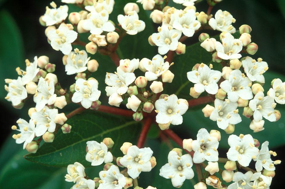 Sempreverde con fiori bianchi wn22 pineglen for Tipi di fiori