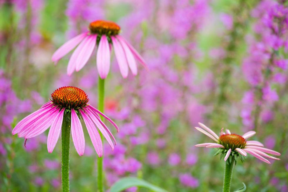 Piante da fiore da giardino fiori da giardino fiori e for Fiori particolari da giardino