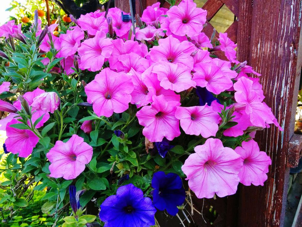 Fiori e piante da balcone pq32 pineglen for Tipi di fiori